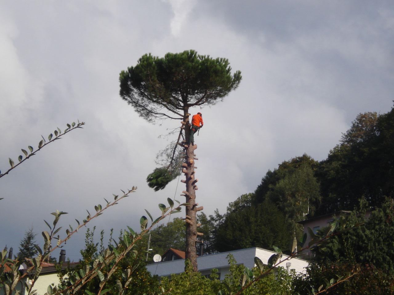 La potatura ed abbattimento alberi ad altro fusto (anche con trasporto